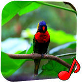 Birds Video Wallpaper Pro