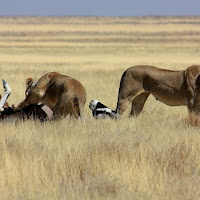 La dura legge della savana di