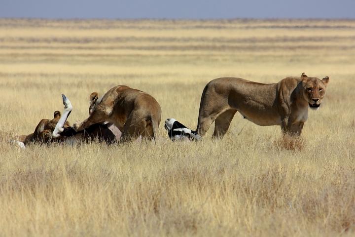 La dura legge della savana di daviderm