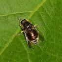Small-headed Fly
