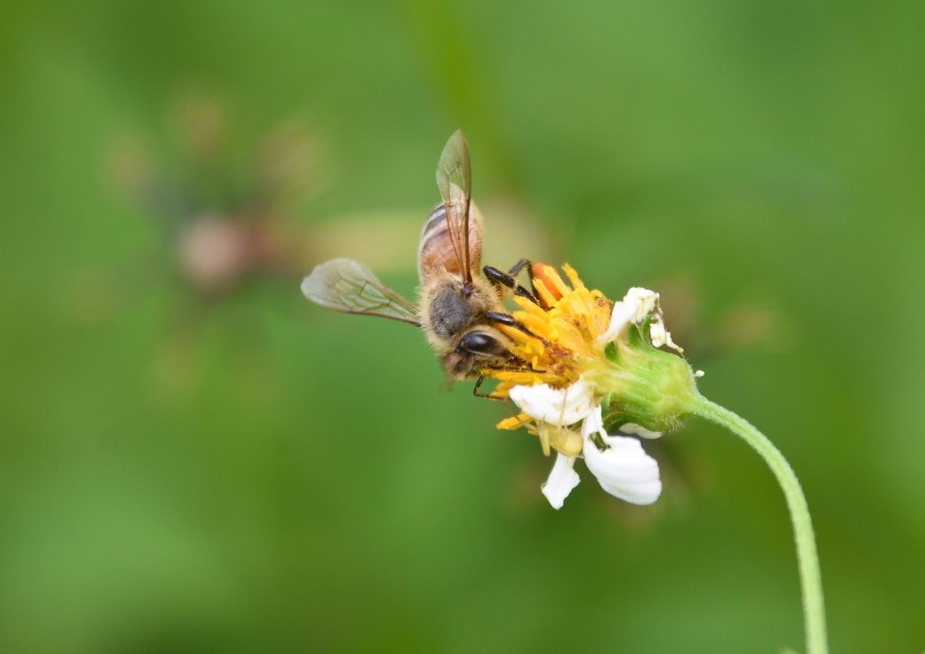 蜜蜂 - 大安國小蟲蟲小精靈