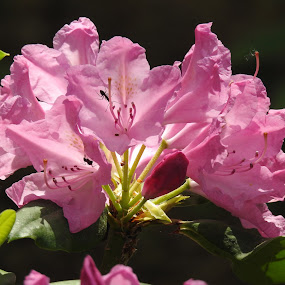 Pink Rhododendron by Kathy Woods Booth - Flowers Single Flower ( ants, pink flowers, flowering plants, rhododendron, flowering, pink flower, flower )