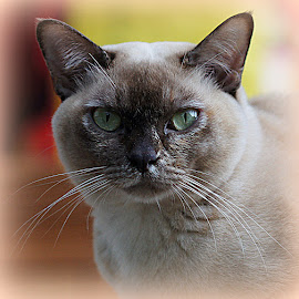 Tortie Burmese Cat by Caroline Beaumont - Animals - Cats Portraits ( tortie burmese cat,  )
