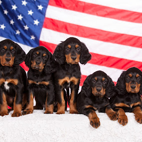 Puppies born 9-11 photographed on 11-11 by Christine Lester-Deats - Animals - Dogs Puppies ( puppies, gordon setters, flag, patriotic, american, july 4th, veteran's day )