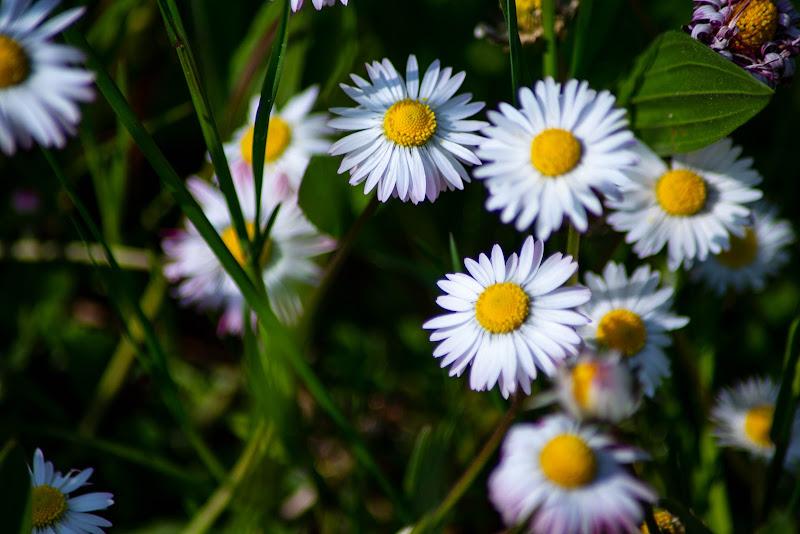 Primavera o Coronas di V:V