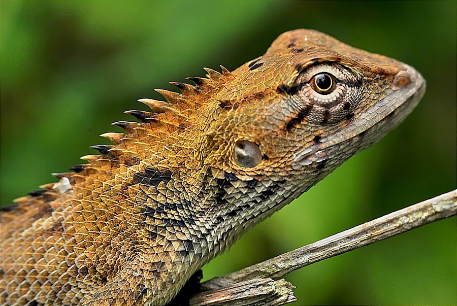 by Hazmi Che Man Che Hassan  - Animals Reptiles