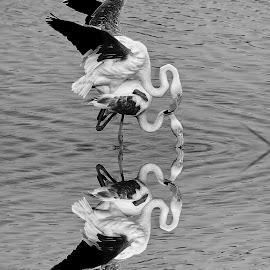Accouplement de flamands roses by Gérard CHATENET - Black & White Animals