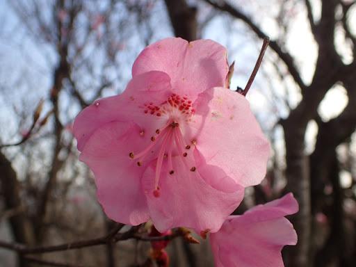 アカヤシオの花アップ