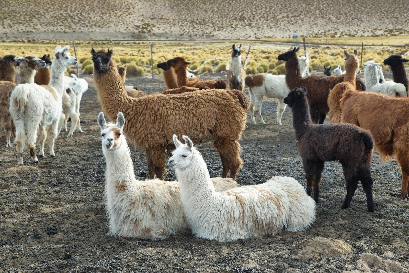 Explore Argentina - Llamas