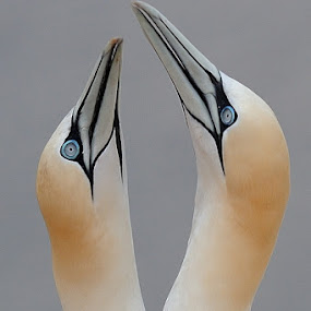 Northern Gannet by Bostjan Pulko - Animals Birds ( helgoland )