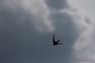 Photo: a Swift, silhouetted