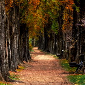 metasequoia road  by Charles Saswinanto - Landscapes Travel ( roadside, road, tree, travel, trees, landscape,  )