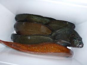 Photo: 釣果です。 真鯛の喰いが悪いです。
