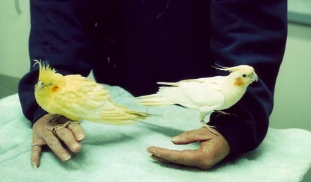 """Abnormal  """"gold"""" lutino cockatiel with liver disease on the left compared to a normal lutino shown on the right"""