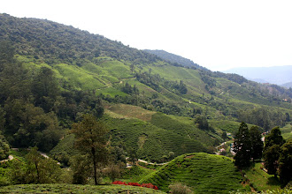 Photo: Year 2 Day 115 - Fantastic View of Boh Tea Estate from the Viewpoint  #2