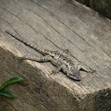 Eastern Fence-Lizard