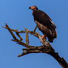 Red Headed Vulture