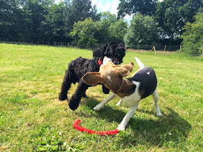 Photo: A shark with his prey? A vampire with his victim? No a Monty Cockerpoo playing with Jess Beagle