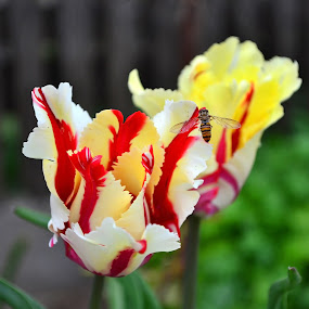 tulip_2 by Victor Pavel - Nature Up Close Flowers - 2011-2013 ( ... )