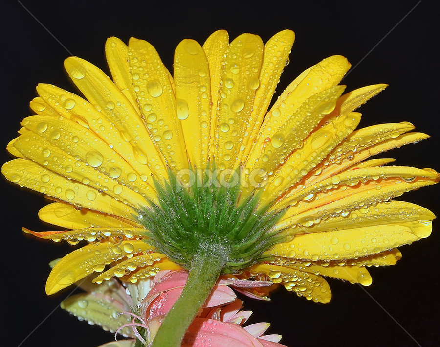 yellow gerber by LADOCKi Elvira - Flowers Single Flower (  )