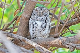 Photo: African Scops-Owl