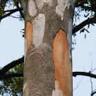 Grey Gums (shedding bark)