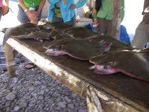 Photo: Sting ray catch at Los Burros village