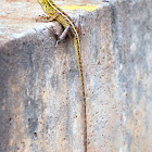 Female Oriental Garden Lizard