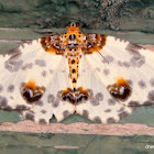 magpie moths