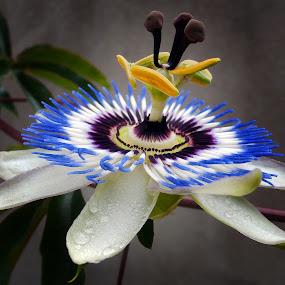 by Simona Limberea - Flowers Single Flower