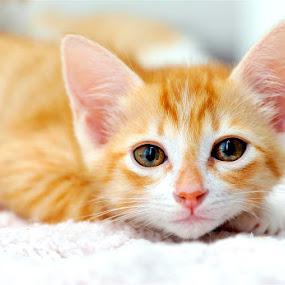 Vietnamese Kitty by Josh Norem - Animals - Cats Portraits ( cats, kitten, cat, feline, kitties, kitty )