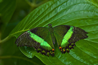 Photo: A Banded Peacock (Papilio palinurus) butterfly from Asia, photo by Don Williamson Photography