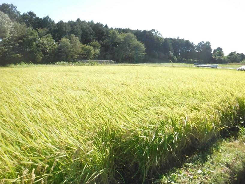 10/23 台風21号が通り過ぎた朝、倒れずに輝く稲には感動しました