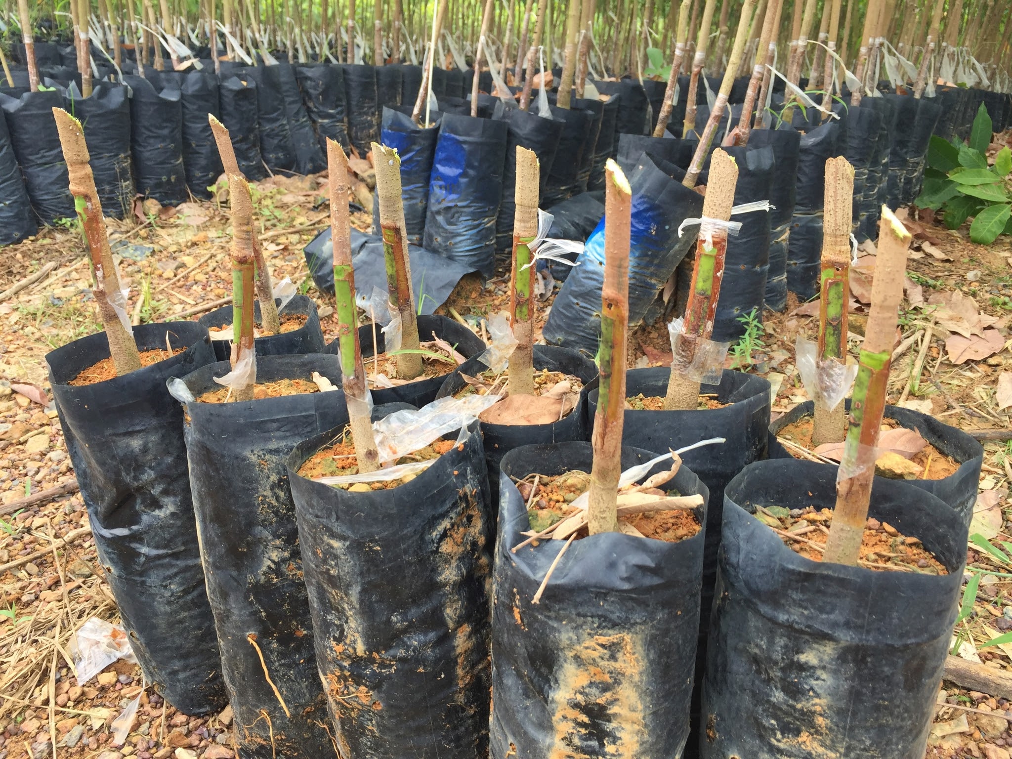 Budded Cutbacks Rubber Seedlings