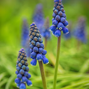 Blue Grapes by Marco Bertamé - Flowers Flowers in the Wild ( blue, grape, green, hyacinth, spring,  )