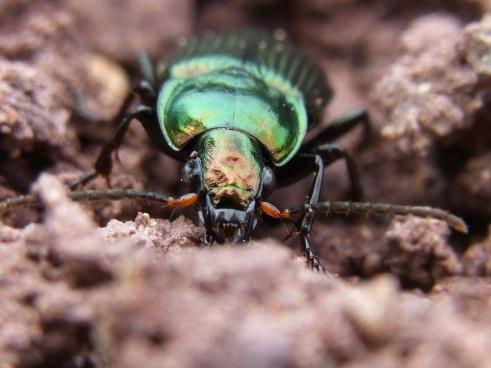 Carabes Insectes Nature - Photo gratuite sur Pixabay