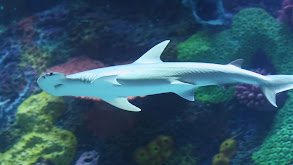 Shark Buffet! thumbnail