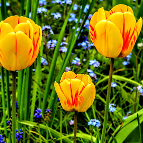 Springtime Gems by Ian Popple - Flowers Flower Gardens ( 2017, april, yellow, tulips, springtime,  )