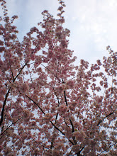 Photo: Almond tree in full flower on an overcast day