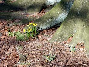Photo: Minature Daffodils
