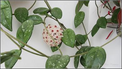 Photo: 2016.07.22 - Floarea de ceara (Hoya carnosa