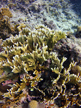 Photo: Branching fire coral (Millepora alcicornis), seen on the seaward slope and deeper areas