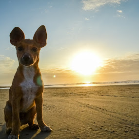 Chaves by Josiê Calera - Animals - Dogs Portraits ( sunset, beach, chaves, dog, sun,  )