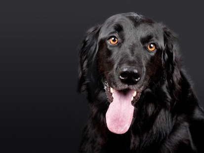 Black Dogs Wallpapers