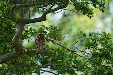 uiltje op dode tak in een boom