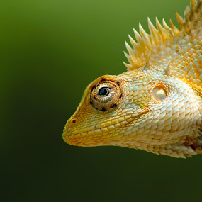 Dino by Mohamed Rafi - Animals Reptiles ( cameleon, reptiles, macro, rafimmedia, indian, tamron, pondicherry photographer )