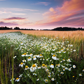 daisies,field,meadows,harvest,countryside,landscapes,summer, by Eriks Zilbalodis - Landscapes Prairies, Meadows & Fields