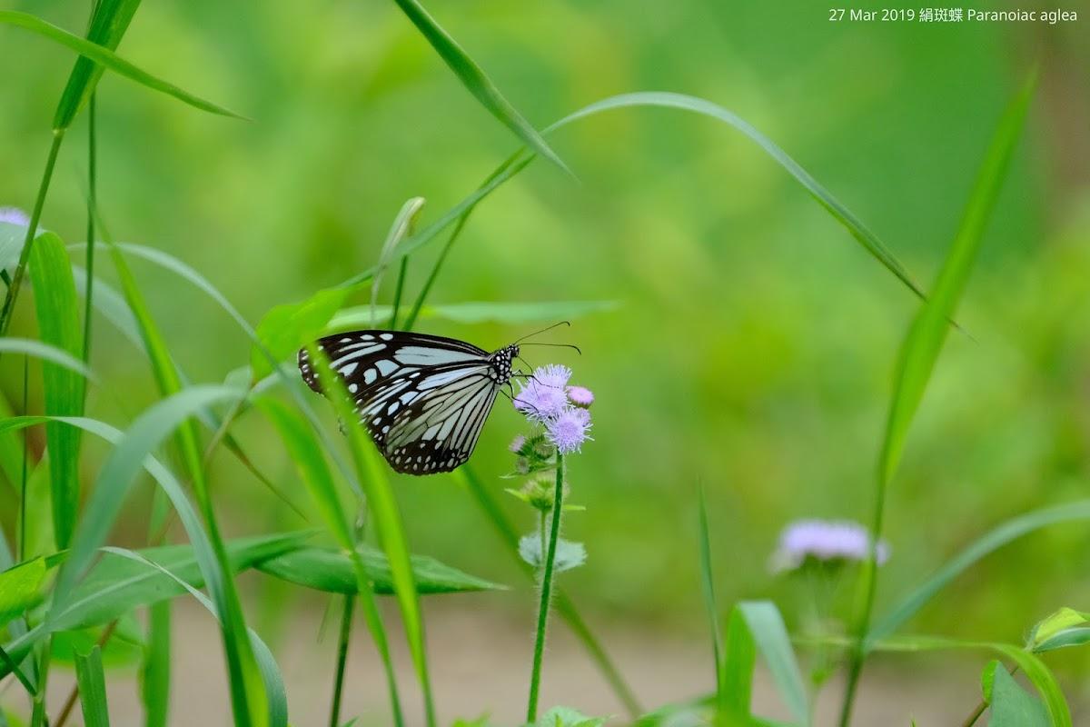 Paranoiac aglea 絹斑蝶