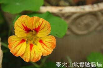Photo: 拍攝地點: 梅峰-溫帶花卉區 拍攝植物: 金蓮花 拍攝日期:2012_10_30_FY