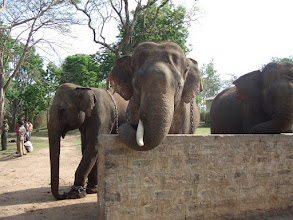 Photo: Patient elephants wanting lunch at Dubare Elephant Camp